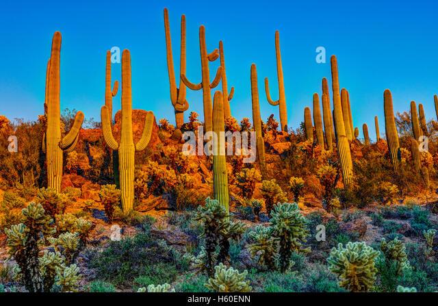 Saguaros at dusk - Stock Image