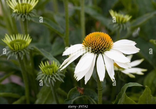 Echinacea purpurea 'Feeling White'. - Stock Image