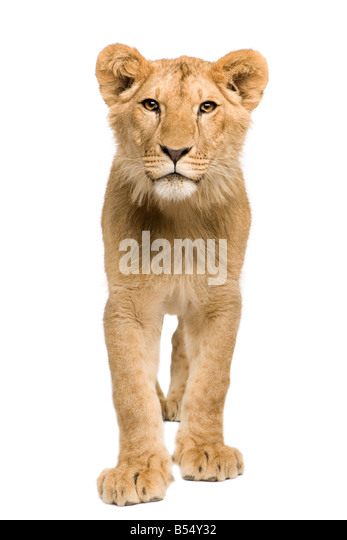 Lion Cub 9 months in front of a white background - Stock Image