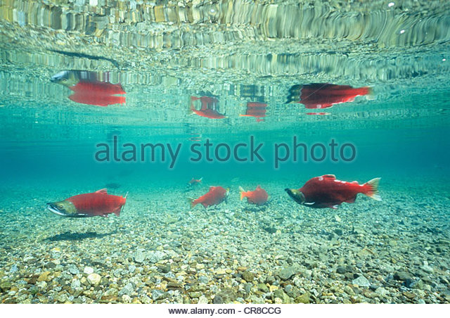 Sockeye salmon amass for spawning, Wood-Tikchik State Park, Alaska, USA - Stock Image