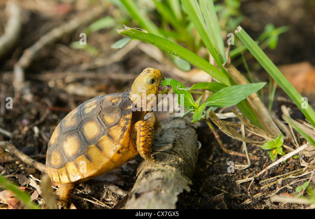 Baby Gopher Tortoise Food