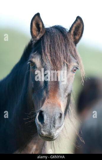 Estonian Wild Horse portrait on Saaremaa, Estonia - Stock Image