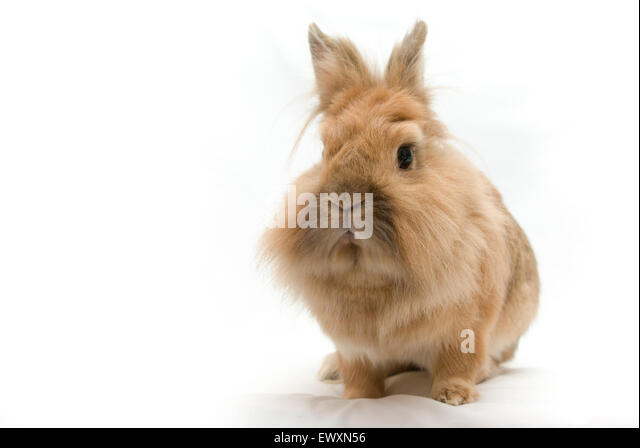 Brown and white lionhead rabbit - photo#32