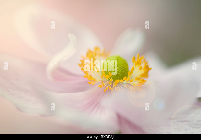 A single Japanese Anemone flower with Sun Flare - Lens Flare - Stock Image