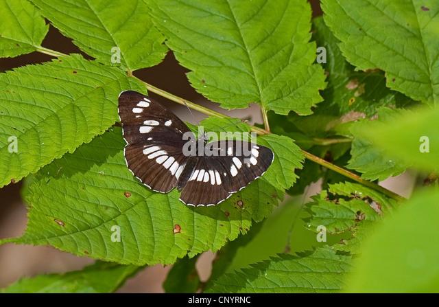Hungarian glider (Neptis rivularis, Limenitis rivularis), sitting on a leaf - Stock Image