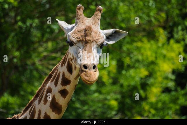 Three Giraffes Die at Zoos