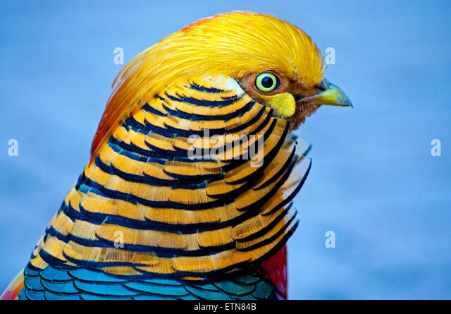 Portrait of a Golden Pheasant bird, South Africa - Stock Image