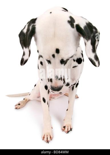 Dalmatian (Canis lupus f. familiaris), Dalmatian sitting with downcast view - Stock Image