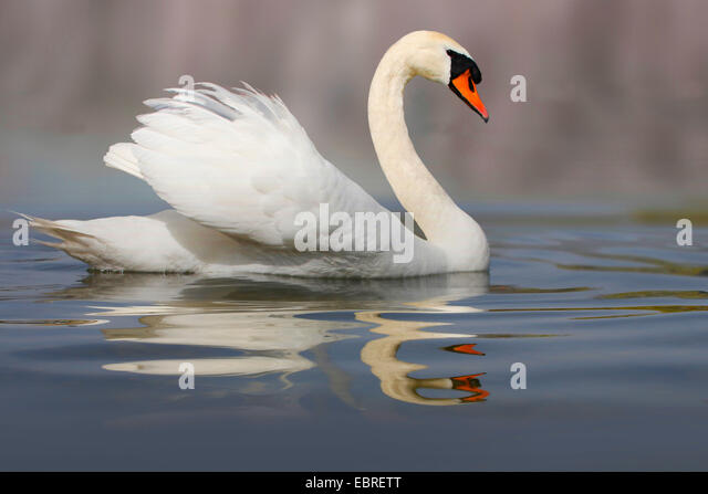 mute swan (Cygnus olor), swimming, Germany - Stock Image