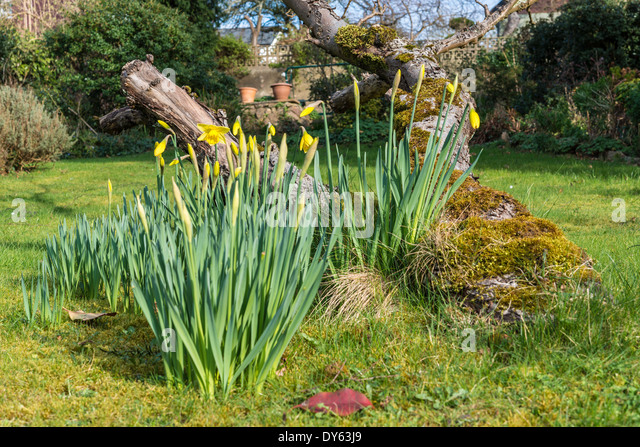 Daffodils growing in garden under old apple tree in spring. Fifth of sequence of 10 (ten) images photographed over - Stock Image