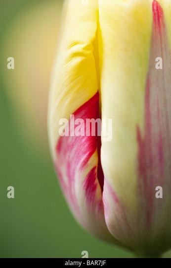 Tulip twister flower abstract at Keukenhof gardens - Stock Image