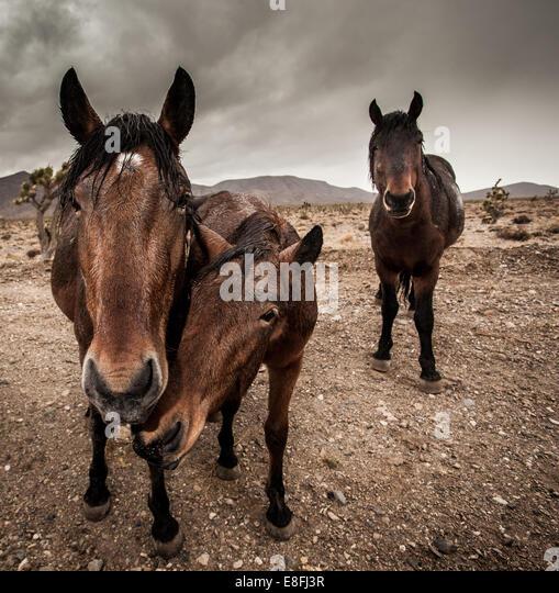 Three brown horses standing in barren landscape - Stock Image