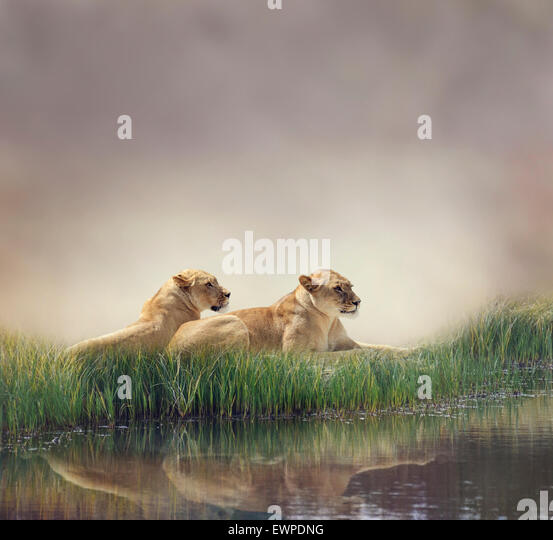 Female Lions Resting Near Pond - Stock Image
