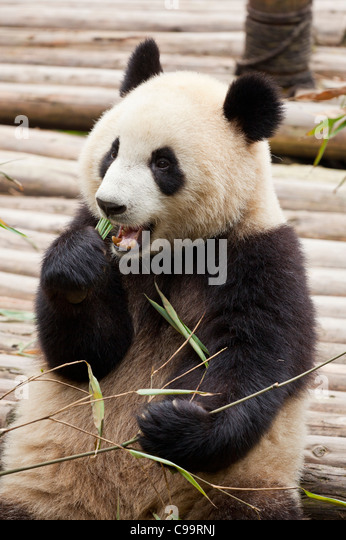 Giant Panda, Ailuropoda melanoleuca Panda Breeding and research centre, Chengdu PRC, People's Republic of China, - Stock Image