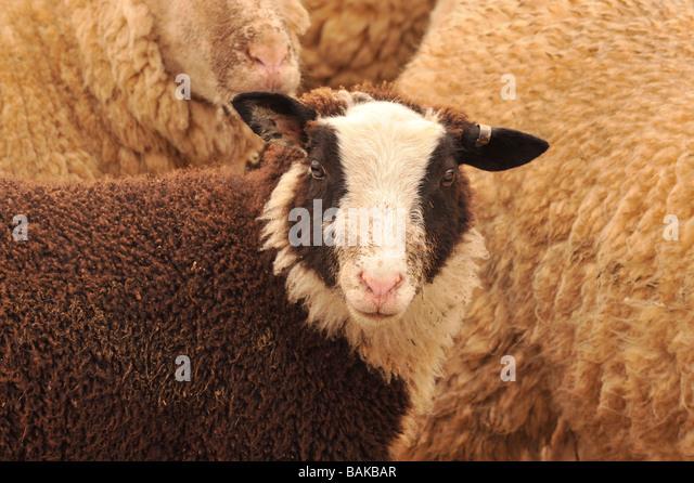 zwartbles ewe sheep - Stock Image