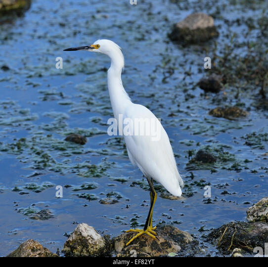 Snowy Egret In Florida Wetlands - Stock Image