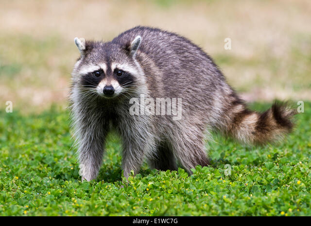 Raccoon (Procyon lotor) - Fort Desoto State Park, Florida - Stock Image