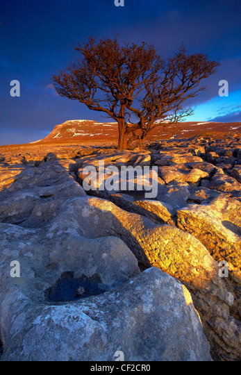Tree growing out of the White Scar limestone pavement with Ingleborough, the second highest mountain in the Yorkshire - Stock Image