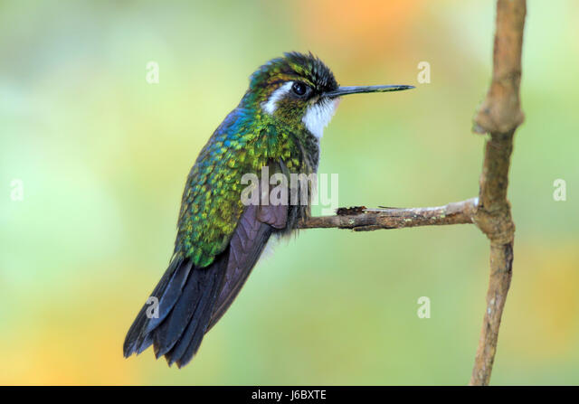 White-throated Mountain-gem (Lampornis castaneoventris) on a Branch. Boquete, Panama - Stock Image