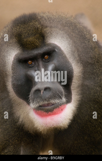 DRILL MONKEY adult male Mandrillus leucophaeus - Stock-Bilder