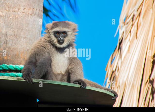 Silvery gibbon, Javan gibbon (Hylobates moloch), on its outlook, Australia, Western Australia - Stock-Bilder