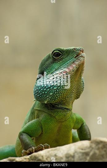 Chinese water dragon, Physignathus cocincinus - Stock-Bilder
