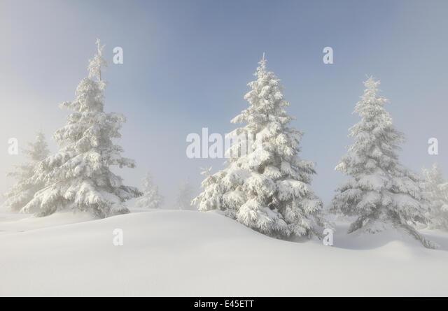 European Silver firs (Abies alba / pectinata) on Hauts Fourneaux, Ballon des Vosges Nature Park, Vosges, Lorraine, - Stock Image