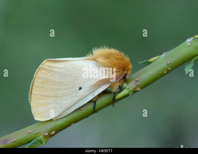 Autumn Silkworm Moth (Lemonia taraxaci) Adult resting on willow stem, Formazza Valley, Piedmont,Italian Alps, July - Stock-Bilder
