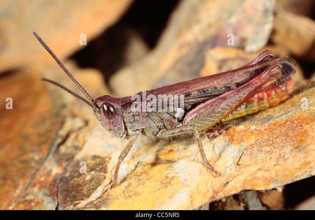 Male Field Grasshopper (Chorthippus brunneus). Purple form. Powys, Wales. August. - Stock Image