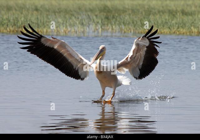 Great White Pelican Pelecanus onocrotalus Landing At Lake Awasa Ethiopia - Stock Image