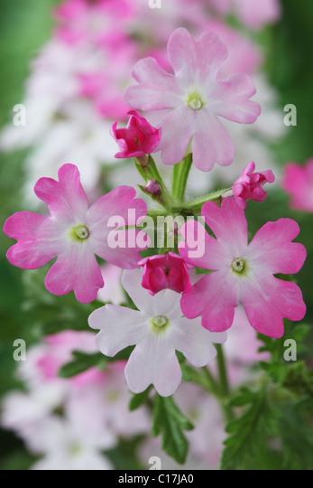 Verbena Aztec Pink Magic (Aztec Series) June - Stock Image