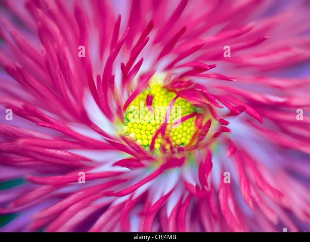 Close up of English Daisy. Oregon - Stock Image