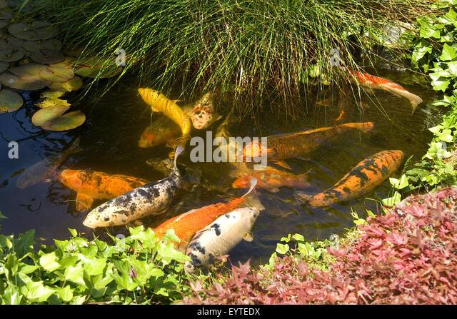 Koi karpfen stock photos koi karpfen stock images alamy for Gartenteich koi