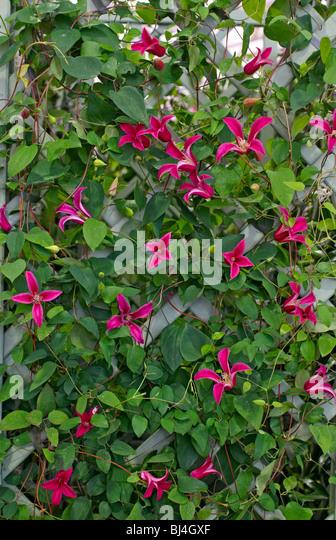 trellis garden clematis stock photos trellis garden. Black Bedroom Furniture Sets. Home Design Ideas