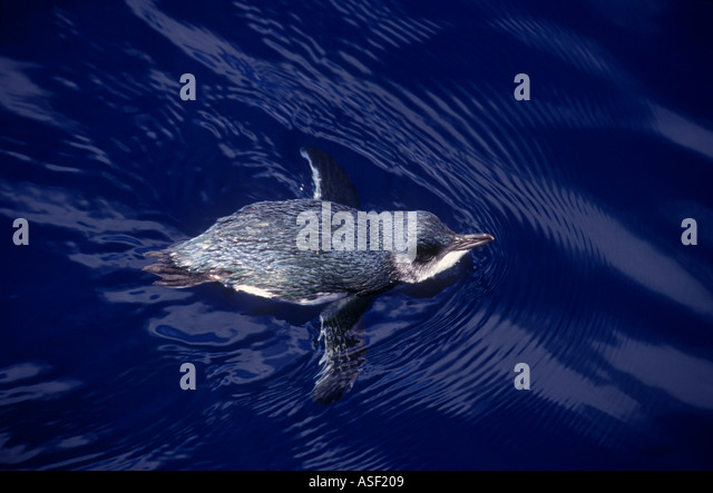 Northern blue penguin fairy penguin Eudyptula minor iredalei swimming on sea surface Bay of Plenty New Zealand - Stock Image