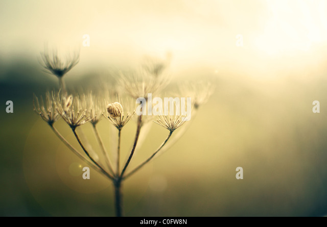 Queen Anne's lace in hazy sunshine - Stock Image
