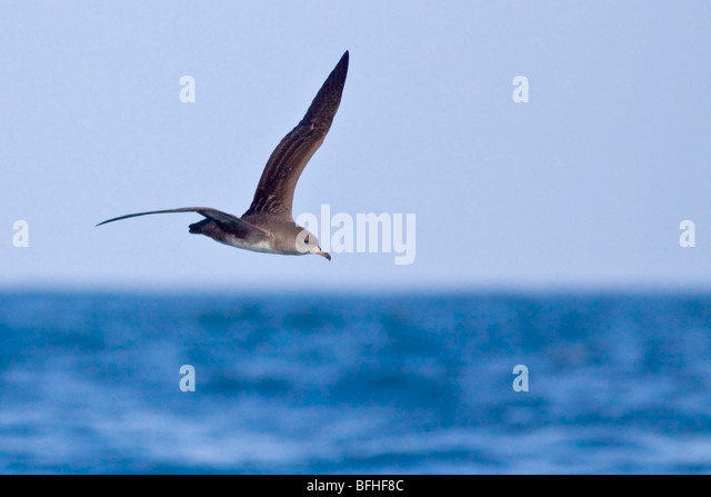 Pink-footed Shearwater (Puffinus creatopus) flying in Washington, USA. - Stock Image