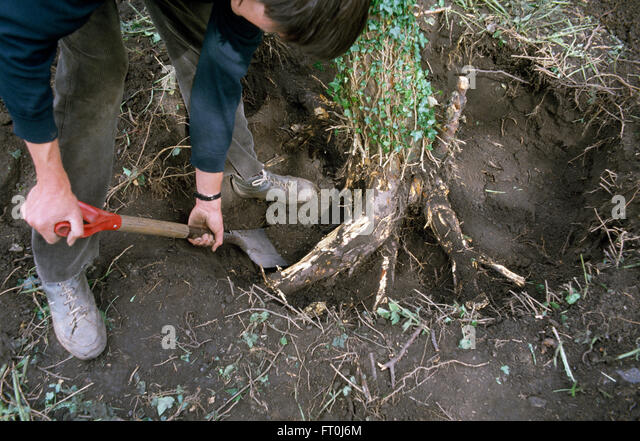 Close-up of a gardener digging out the roots of a small tree     FOR EDITORIAL USE ONLY - Stock Image