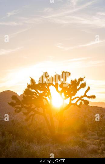 Sun Glares Through Joshua Tree as it sets over the desert - Stock Image