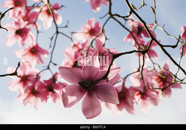 Magnolia campbellii Kew s Surprise in flower in spring in the garden at Lanydrock Cornwall - Stock Image