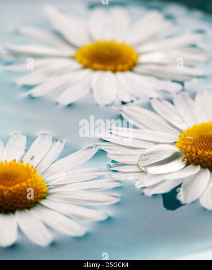 Beautiful daisies floating in bright turquoise water - Stock Image