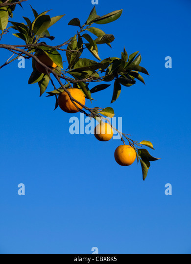 Ripe oranges in orange tree branch against a blue sky - Stock Image