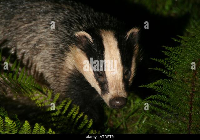 European Badger in ferns at night. - Stock Image