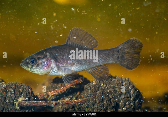 pirate perch (Aphredoderus sayanus), juvenile, USA, Florida, Reedy Creek, Kissimmee - Stock Image