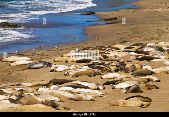 Elephant Seals (Mirounga angustirostris), Monterey Bay National Marine Sanctuary, San Simeon, California - Stock Image
