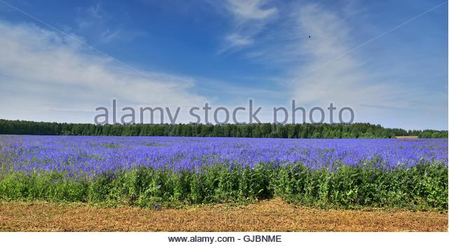 Colorful field of blue plants. The beauty of Russian nature. - Stock Image
