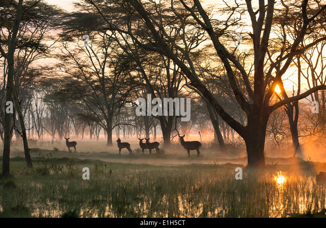 Small group of waterbuck (Kobus ellipsiprymnus), Lake Nakuru National Park, Kenya, Africa - Stock Image