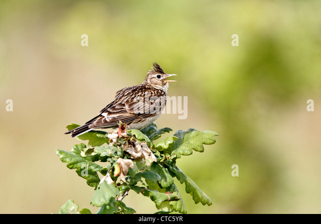 Skylark, Alauda arvensis, Single bird on young oak tree, Warwickshire, July 2012 - Stock Image