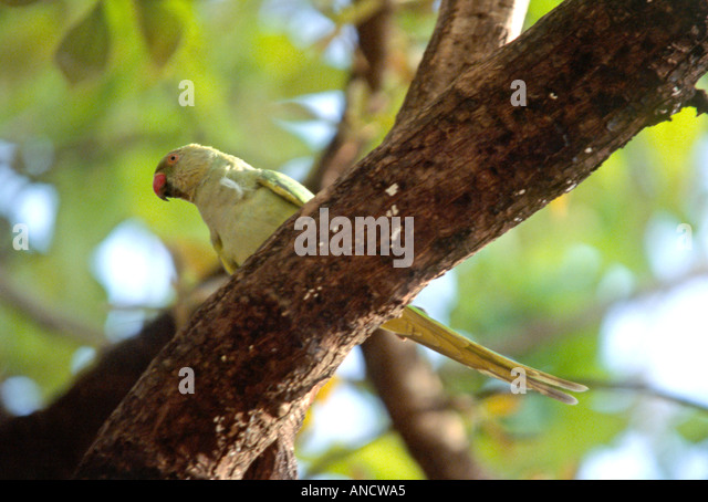 how to make a parakeet sing