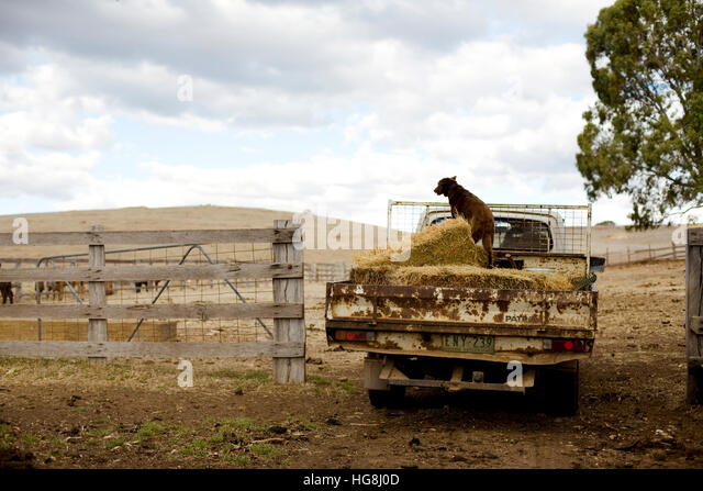 A working dog on the back of a truck willed with hay on a cattle ranch farm. - Stock Image